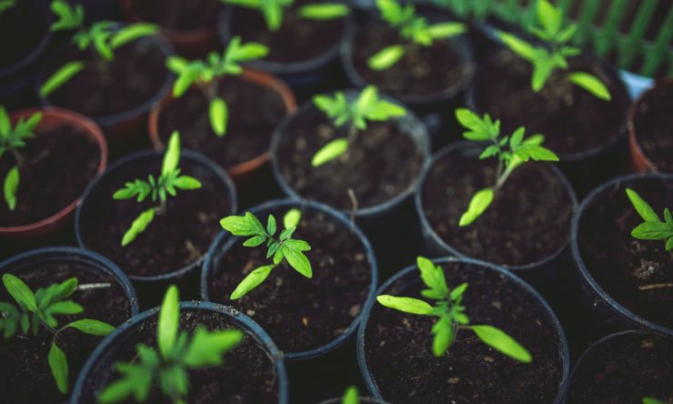 little-tomato-plants-are-not-mature-yet
